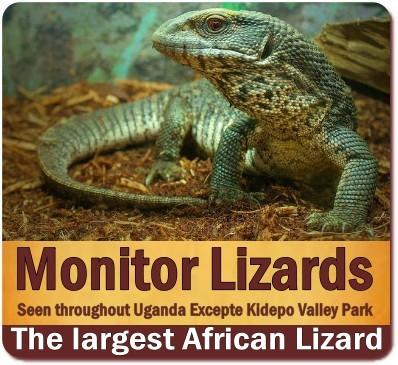 The Nile Monitor Lizards found in Uganda