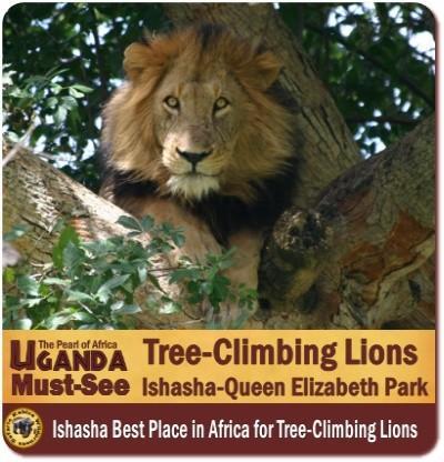 Tree Climbing Lions of Ishasha