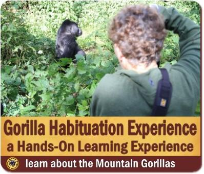 Comparing Gorilla Trekking with the Habituation Experience in Bwindi Forest