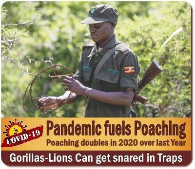 Tourism reduces Poaching in the National Parks of Uganda