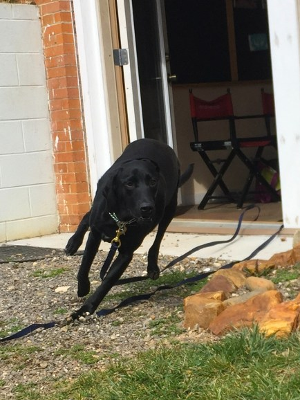 Lilly practicing a motivational recall request-- look at that guardian focus!