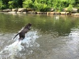 Ollie learning to charge it while retrieving his toy during a Yearling course swim session.