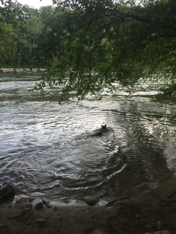 As Fury's water retrieve confidence grows the distance of his swims also become greater.