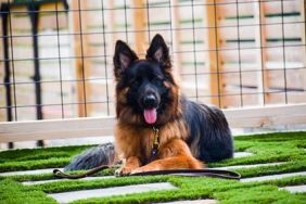 German Shepherd Mira practicing her down stay during her Residency Board and Train course.