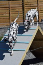 Residency Training Guests Domino and Ringo having some fun on the A-frame obstacle.