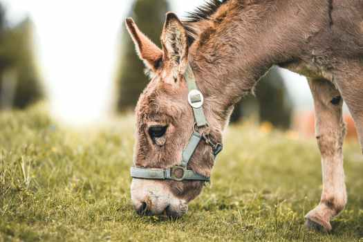 selective focus photography of gray donkey eating grass