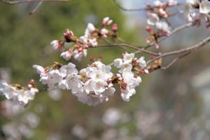 1903桜-光が丘8