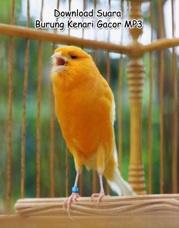 Download Mp3 Gratis Suara Kenari Juara : download, gratis, suara, kenari, juara, Kumpulan, Download, Suara, Masteran, Burung, Kenari, Gacor