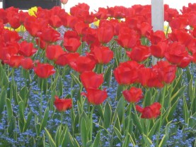 Red Poppies at Le Somme