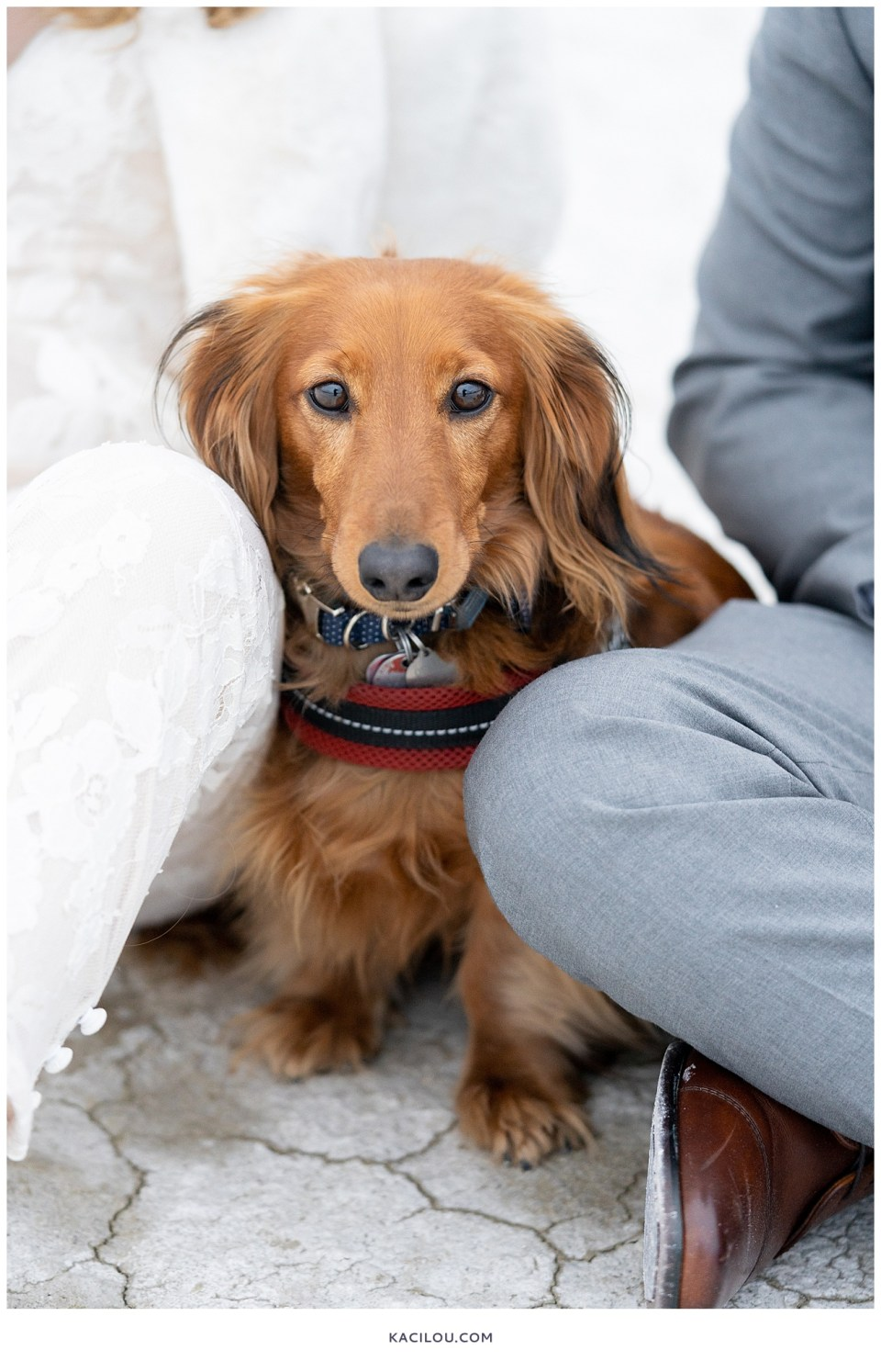 golden red fluffy dachsund between legs of his owner that are in bride and groom attire