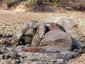 elephant stuck in mud
