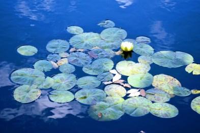 lotuses 2