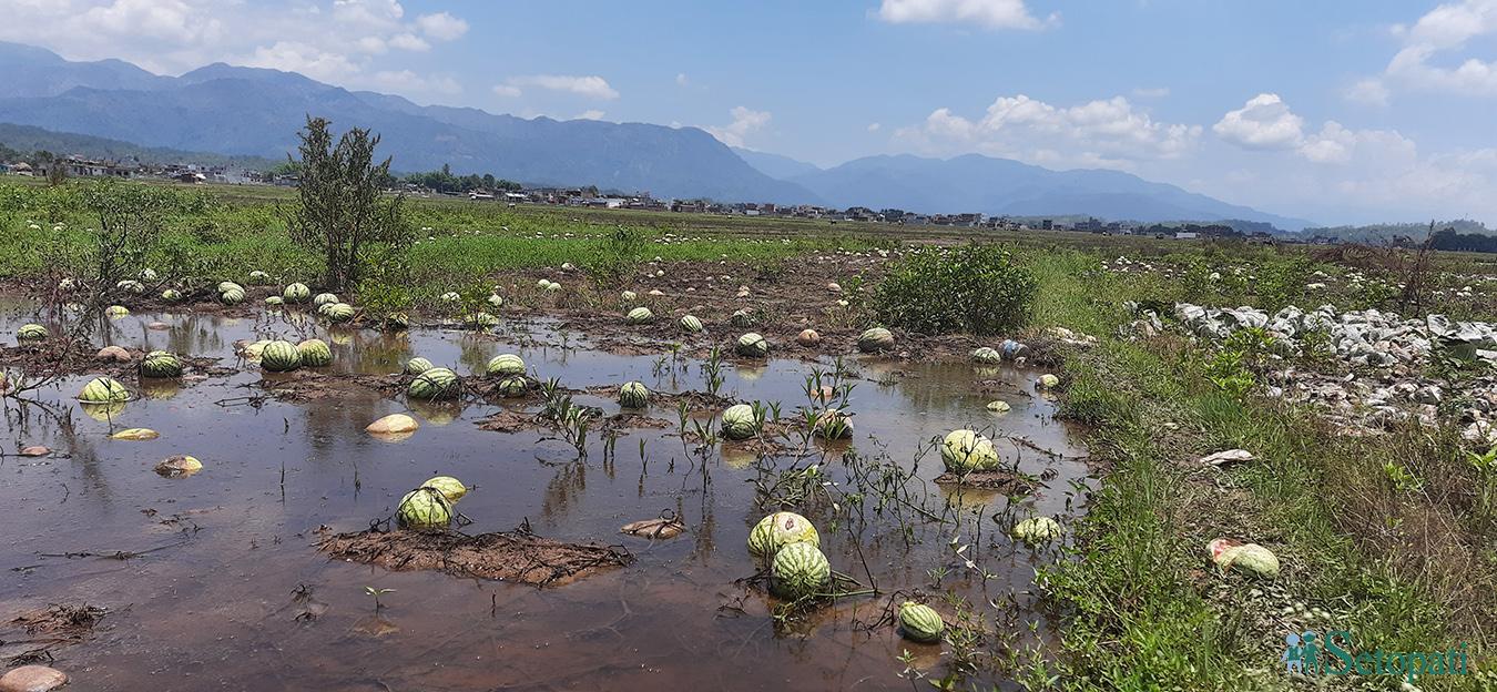 निषेधाज्ञा र पानीले पुरा भएन सुर्खेतभर 'तर्बुजा' पुर्याउने कृषकको सपना