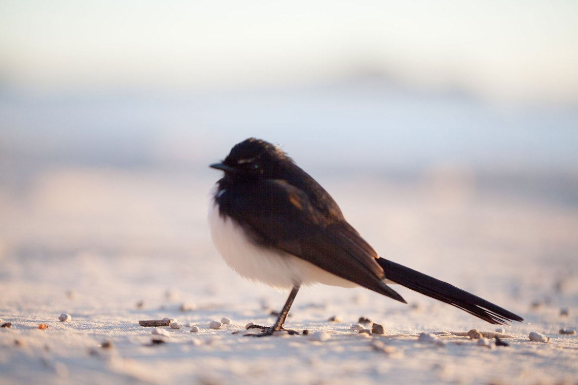 Willy Wagtail on Beach