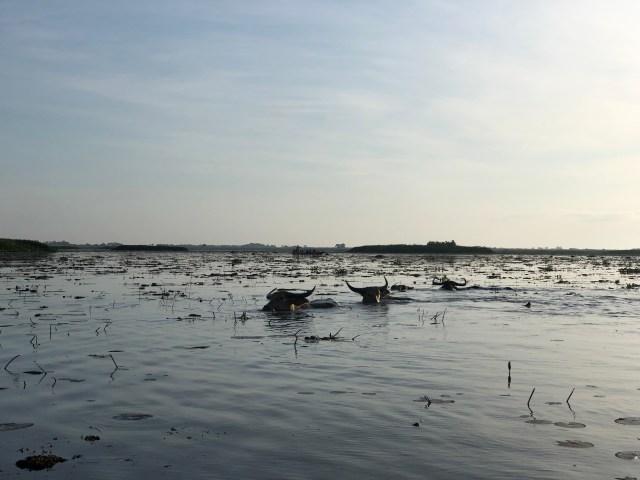 ควายน้ำกำลังเดินลุยน้ำ ซึ่งลึกเมตรกว่าๆ เรียกว่าเกือบมิดหัวควายอยู่แล้วนะนั่น แต่อยากบอกว่ามันเดินฉิวเลยครับพี่น้อง