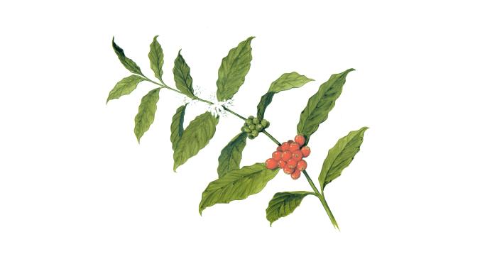 Illustrasjon som viser blomst og bær på kaffetreet