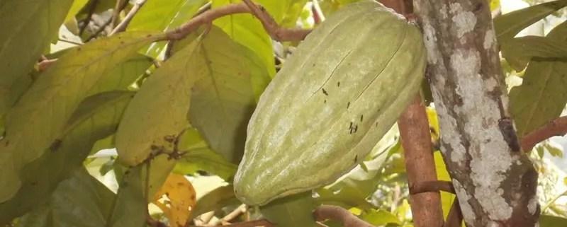 Kakao Pflanze