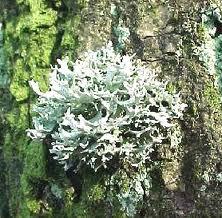 Oakmoss or tree moss.