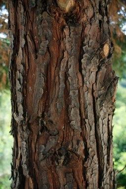 A young cedar tree trunk.