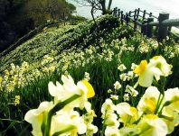 Field of narcissus. Source: pt.forwallpaper.com