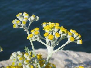 Immortelle, or Helichrysum in Corsica. Source: Wikicommons.