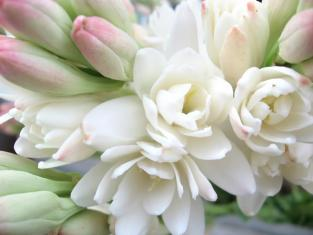 Tuberose. Source: Fragrantica.de