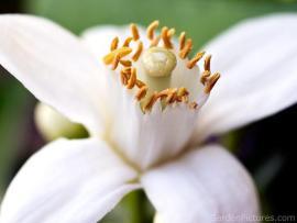 Orange Blossom. Photo: GardenPictures via Zuoda.net