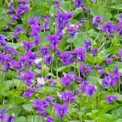 Violets. Source: statesymbolsusa.org