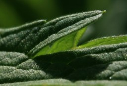 Geranium leaf, close-up. Source: Wikicommons