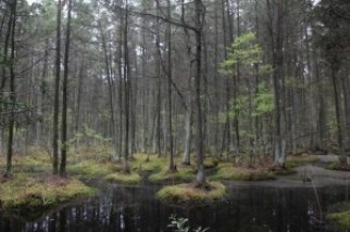 """""""Young Atlantic White Cedar Swamp"""" by Jason Howell at Motivepicture.com. (Website link embedded within.. http://www.motivepicture.com/?attachment_id=138"""