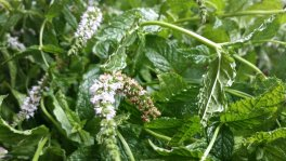 Flowering mint that Salaam brought into the classroom one day. Photo: my own.