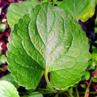 Violet leaf. Source: healthyhomegardening.com