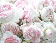 Rose de Mai or cabbage roses. Photo and source: Secret Garden Cottage blog. (Direct website link embedded within.)