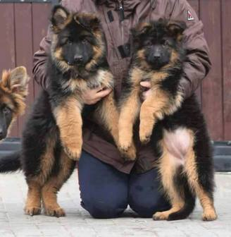 Source: Official German Shepherd Lovers FB page.