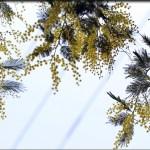 mimosa**