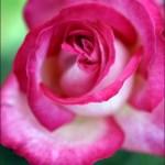麗しの薔薇 Part.2