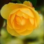 麗しの薔薇 Part.4