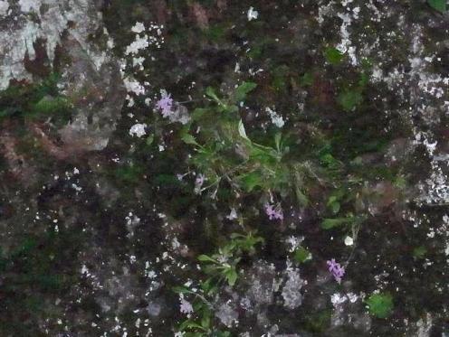 岩壁に咲く可憐な庚申草
