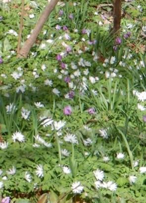 白いアズマイチゲの中に紫のカタクリ