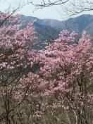 アカヤシオ群生の登山道
