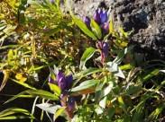 紫の可愛いエゾリンドウ