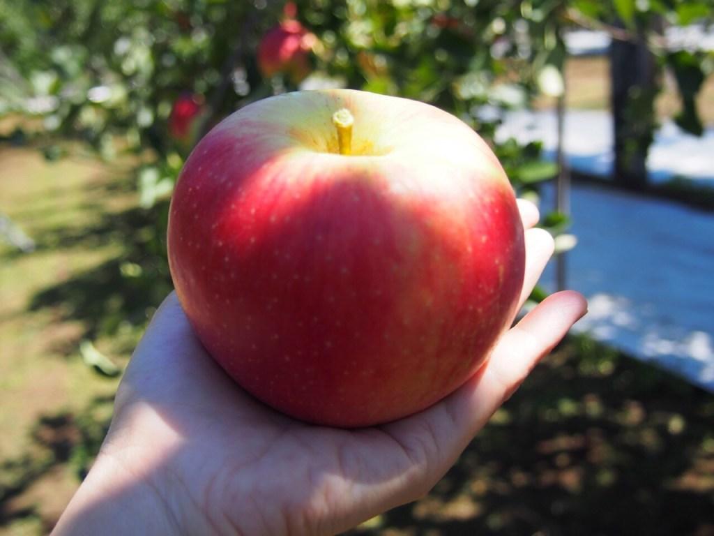 生駒高原でりんご狩り