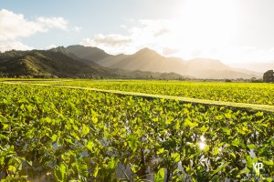 The sun streaks across the sky over the hanalei taro fields and gives it a warm glow that is something special to see.