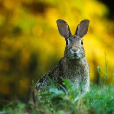 Tavşan, çayırda