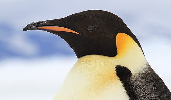 Antarctica Stellke