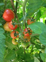 Wild cherry tomatoes