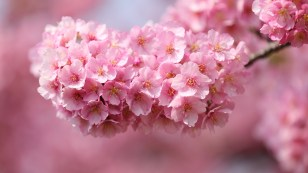 Japan-sakura-twigs-pink-flowers-petals-close-up-blurred-background_1920x1080