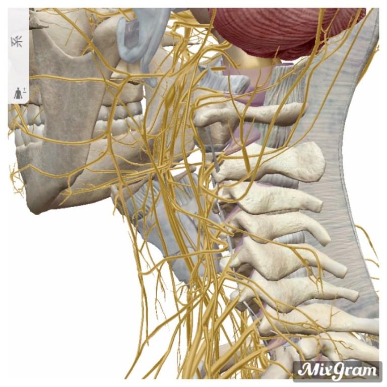 首こりの原因は頚椎のズレが関与している【免疫力にも関わります】