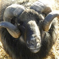 Sheep Mineral Mix