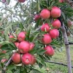 APPLE DBL ROYAL GALA+BRAEBURN